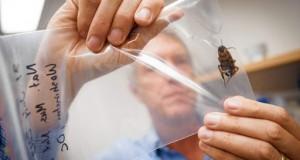 damska-moda.info - Синантропни хлебарки - биологията и епидемиологично значение